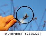 gardener inspects the buds of... | Shutterstock . vector #623663234