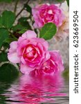 Stock photo pink roses in the field reflected in the water 623669504