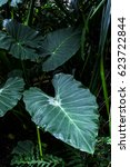 Small photo of Leaves of Alocasia on the dark background, exotic and tropical plants