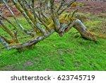 Old Trees In Dartmoor National...