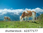 Austrian Cow Grazing In An...