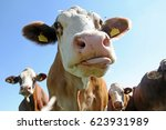 funny cow photo   a cow... | Shutterstock . vector #623931989