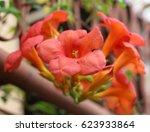 Chinese Trumpet Vine Flower