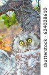 Small photo of Arrogant evil owl, forest spirit, hob. Portrait of boreal owl (Tengmalm's owl, Aegolius funereus) in time of aggression