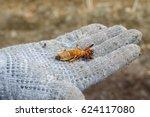 Closeup Dead Mole Cricket In...