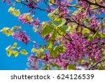 Blossoming Judas Tree Or...