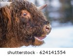 Highland Cow Mooing Loudly