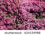 Flowering Pink Heather  Erica