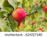 closeup of red plums ripening... | Shutterstock . vector #624227180