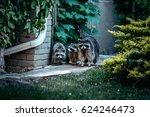 Curious Raccoon Family