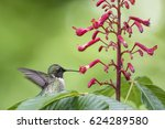 Hummingbird Feeding On Buckeye...