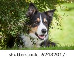 Beautiful Border Collie Is...