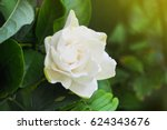 Gardenia Flower  Gardenia...