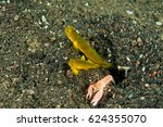 Small photo of Banded shrimpgoby, Cryptocentrus cinctus, and shrimp, Alpheus sp., Sulawesi Indonesia.