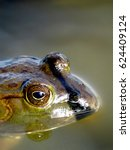 Small photo of An American Bullfrog. A frog closeup profile in a lake. Lithobates catesbeianus or Rana catesbeiana