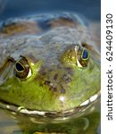 Small photo of An American Bullfrog closeup. A frog in a lake. (Lithobates catesbeianus or Rana catesbeiana)