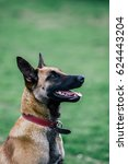 Small photo of Beautiful malinois pure breed in a dog park