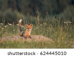 Young Foxes Resting And Playing