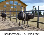 Ostriches In The Paddock Of Th...