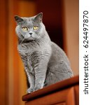 british shorthair cat sitting... | Shutterstock . vector #624497870