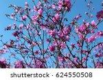 Rhododendron Dauricum....