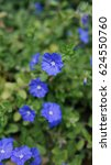 Small photo of African violet flowers (Saintpaulia). Background wallpaper.