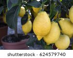 Amalfi  Italy   Lemon Trees In...