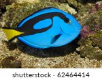 Blue Hippo Tang In Saltwater...