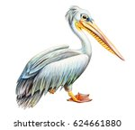 Pelican Realistic Drawing ...