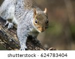 eastern gray squirrel or grey... | Shutterstock . vector #624783404