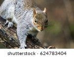 Eastern Gray Squirrel Or Grey...