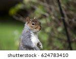 eastern gray squirrel or grey... | Shutterstock . vector #624783410