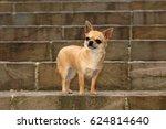 Portrait Of Cute Chihuahua Dog...