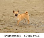 portrait of cute chihuahua dog... | Shutterstock . vector #624815918