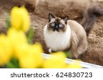 Rag Doll Cat With Blue Eyes And ...