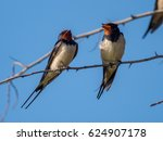 Stock photo barn swallow hirundo rustica camargue france 624907178