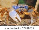 Mature Female Rainbow Crab...