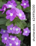 Small photo of Beautiful purple Catharanthus roseus flowers (vinca flowers).