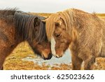 two icelandic horses nuzzle | Shutterstock . vector #625023626
