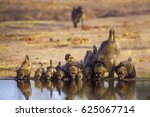 chacma baboon in kruger... | Shutterstock . vector #625067714