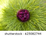 Unopened Peony Bud On A Green...