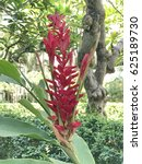 Small photo of Alpinia purpurata or Red ginger or Ostrich plume or Pink cone ginger flower.