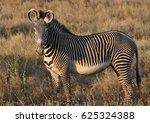 Grevy Zebra Attentive