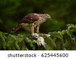 Bird Of Prey Goshawk Kill Gree...