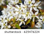 Small photo of White blossoming branch of juneberry or snowy mespilus or Amelanchier lamarckii