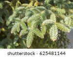 Small photo of Abies Pinsapo branches in a garden