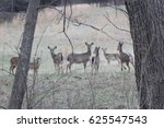 A Small Herd Of Whitetail Deer