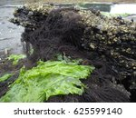 Green Seaweed From Chile