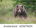 massive aggressive male brown...   Shutterstock . vector #625679654