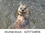 Super Cute River Otter Doing...